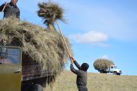 В девяти районах Тувы приступили к заготовке грубых кормов