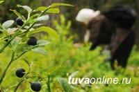 В Тоджинском кожууне Тувы при сборе ягод пропала 62-летняя женщина