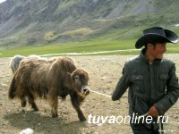Молоко тувинских сарлыков может быть использовано в натуральной косметике Natura Siberica