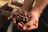 Глава Тувы подверг критике муниципалов за отсутствие помощи населению в сборе кедрового ореха
