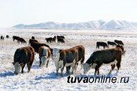 В Туве в 50-градусные морозы из Резервного фонда выделяются дополнительные корма для прохождения зимовки скота