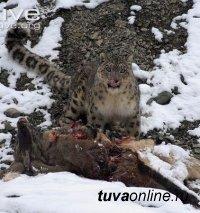 В Республике Тыва впервые удалось снять на видео снежного барса, поедающего жертву