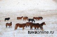 На севере России в Норильске создают табунное коневодство на базе морозоустойчивой тувинской породы