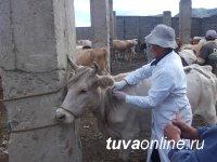 В Туве ставится задача довести количество вакцинированного против ящура скота, особенно в приграничье, до 80%