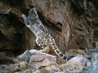 Котята снежного барса подросли в природном парке Тувы