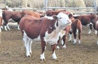 Поставить животных для губернаторского проекта «Корова-кормилица» согласились 225 хозяйств Тувы