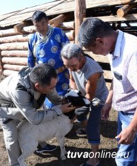 В Туве началась передача 200 овцематок участникам проекта «Кыштаг для молодой семьи»