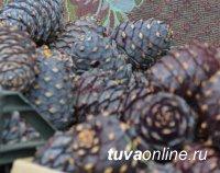 Тувинская тайга в этом году щедра на кедровые орехи
