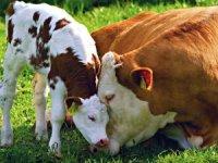 В 11 районах Тувы проект «Корова-кормилица» реализован полностью