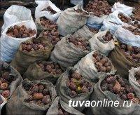 В Туве установили порядок, сроки и способы заготовки кедрового ореха и других таежных дикоросов