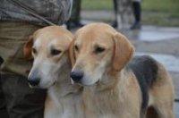 В Сарыг-Сепе прошла выставка собак охотничьих пород