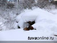 В двух районах Тувы в связи с крайне высоким снежным покровом запрещена охота на диких животных