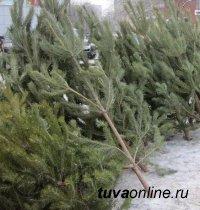 В Кызыле торговля елками проходит без нарушений