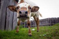 Начинается реализация социального проекта «Корова-кормилица» 2017 года