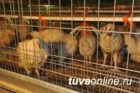 На тувинской птицефабрике «Енисейская» будет запущен корпус для содержания промышленного стада кур-несушек