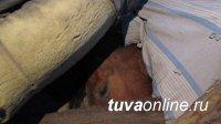 В Кызыле сотрудники полиции с поличным задержали скотокрадов