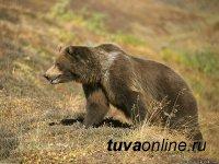 В Туве в медвежатине обнаружен трихинеллез