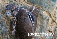 Соколы балобаны Южной Сибири станут отправлять орнитологам смс