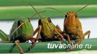 Правительством Тувы утвержден план мероприятий по выявлению и уничтожению саранчовых вредителей