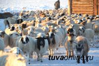 В Туве зимовку проходят 1 миллион  403 тысячи голов скота