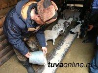 За весеннюю расплодную кампанию в Туве планируют на полмиллиона увеличить поголовье овец