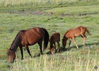 """Мясо украденных лошадей было сдано в """"Мясную лавку"""" Кызыла"""