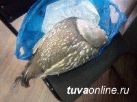 В Кызыле сотрудниками уголовного розыска выявлен факт сбыта тушки алтайского улара