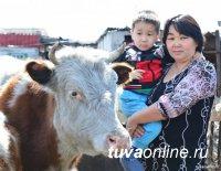 """619 многодетных семей Тувы по проекту """"Корова-кормилица"""" получили по корове с теленком"""