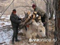 Скотоводам Тувы помогут сохранить скот от нападений снежных барсов в кошарах и на открытых пастбищах