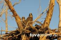 Сокола-балобаны Южной Сибири станут сообщать орнитологам о своем перемещении