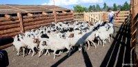 В Туве началась передача скота в рамках губернаторского проекта «Кыштаг для молодой семьи»