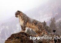 Тува (Россия) и Увс аймак (Монголия) проведут совместный учёт снежного барса и аргали