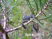 В Туве после более чем 50 лет вновь появились очаги вредителей полезащитных лесополос