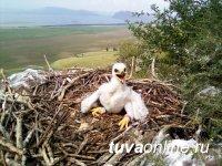 В Туве двух птенцов степных орлов снабдили GPS-трекерами