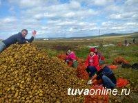 Студенты Тувинского государственного университета оказали содействие в уборке картофеля сельхозпроизводителям Танды