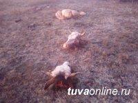 Сотрудники ДПС по горячим следам раскрыли кражу скота в  Пий-Хемском районе Тувы