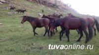 Угнавшие 26 лошадей в Барун-Хемчикском кожууне Тувы скотокрады задержаны
