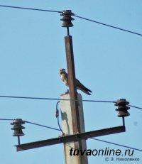 WWF России предупреждает: популяцию сокола балобана может уничтожить браконьерство и гибель птиц на линиях электропередачи