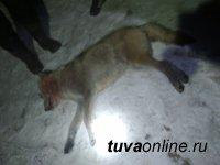 В Туве зафиксированы два случая нападения волка на человека в окрестностях с. Ээрбек