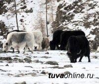 Стоянки чабанов горного Монгун-Тайгинского кожууна Тувы в связи с сильными морозами будут патрулировать еженедельно