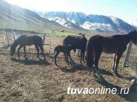 Угнавшие у гражданина Монголии 6 лошадей скотокрады приговорены к 2 годам и 10 месяцам лишения свободы