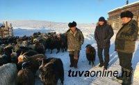 В Туве сумели избежать массового падежа скота от холода