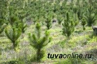В Республике Тыва в 2018 году лесовосстановительные работы проведены на площади свыше 6 тысяч гектар