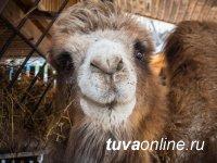 Верблюдица из Тувы, которую обожал весь Красноярский зоопарк, потеряла мужа, но осталась ему верна