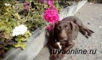 В Кызыле пропала собака
