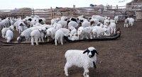 Поголовье овец и коз в хозяйствах Тувы увеличится к лету более чем на полмиллиона голов