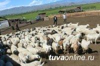 В Туве новые участники проекта «Кыштаг для молодой семьи» готовятся принять скот