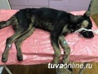 """Кызыл: """"Хатико"""" собирает средства на спасение сбитого автомашиной Джина"""