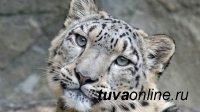 В Туве с 17 до 12 сократилось количество ирбисов - снежных барсов