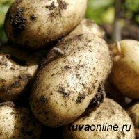 Россельхозцентр: Семенной картофель в Туве проверен на качество